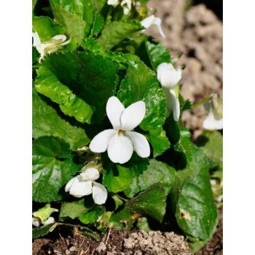 Ibolya, illatos fehér (Viola odorata var. alba) virágmag