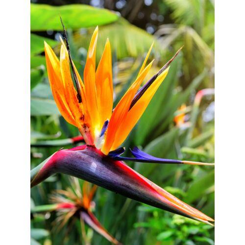 Papagájvirág (Strelitzia reginae)