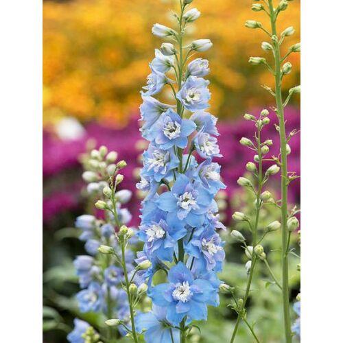 Szarkaláb (Delphinium elatum), 'Delphina' Series, 'Light Blue White