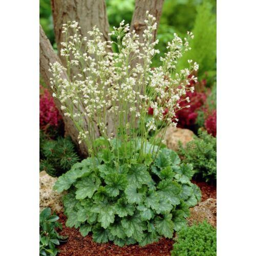Tűzgyöngyvirág (Heuchera sanguinea), 'White Cloud'