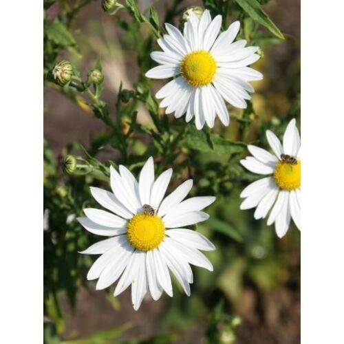 Tiszaparti margitvirág (Chrysanthemum serotinum)