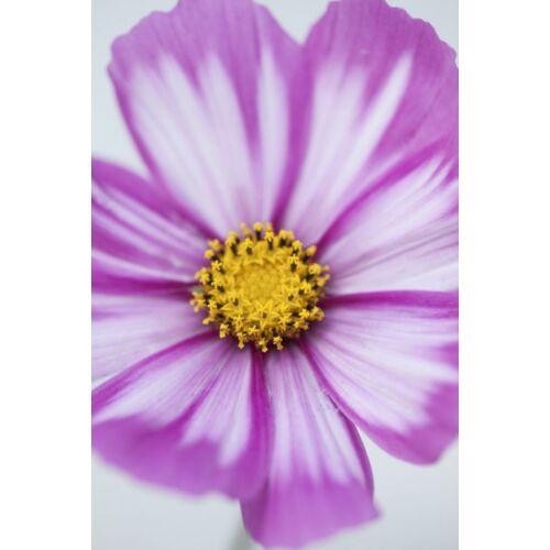 Pillangóvirág (Cosmos bipinnatus), 'Candy Stripe' Mix
