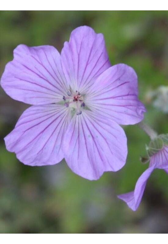 Geranium robustum
