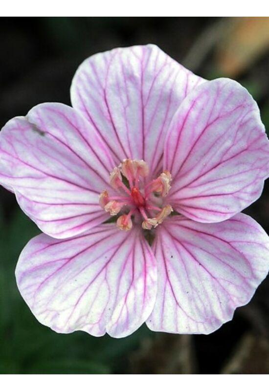 Geranium sanguineum var. lancastriense