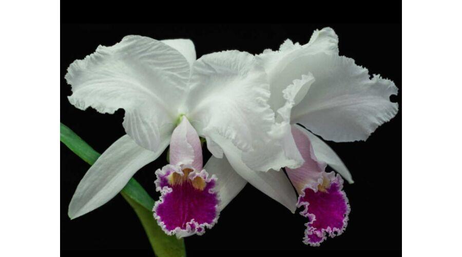 Cattleya orchidea v s rl s orchidea ritkas gok for Semi orchidea